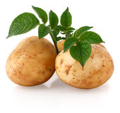 Young potatoes with sprout Royalty Free Stock Image