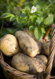 Young potatoes on wood basket Royalty Free Stock Images