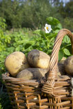 Young potatoes on wood basket Stock Photos