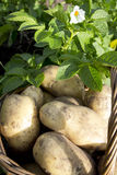 Young potatoes on wood basket Stock Image