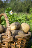Young potatoes on wood basket Royalty Free Stock Photography
