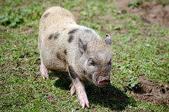 Young potbelly pig Stock Images