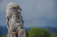 Young potoo (Nyctibius griseus). A surprise a waits in the middle or the cow fields of the Osa Península en Costa Rica. One of the most elusive tropical birds Royalty Free Stock Image