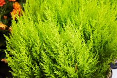 Evergreen tree and shrub in the Cypress family Cupressaceae royalty free stock photography
