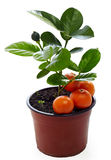 Young potted mandarin plant isolated on white Stock Image