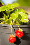 Young Potted Strawberry Plant Already Bearing Fruit Royalty Free Stock Photos