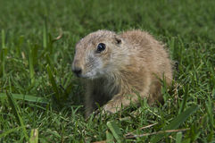 Young Prairie Dog Royalty Free Stock Image