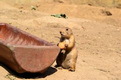 A young prairie dog Royalty Free Stock Photography