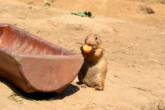 A young prairie dog Royalty Free Stock Photo
