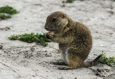 Young prairie dog eating carrot Royalty Free Stock Photography