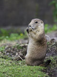 Young prairie dog eating Royalty Free Stock Image