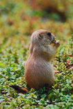Young prairie dog eating some greens. Stock Photo