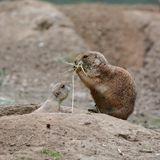Young prairie dog with his mother Royalty Free Stock Photo