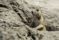 Young prairie dog from hole in the ground Royalty Free Stock Images