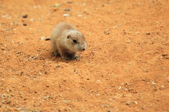 Young prairie dog Stock Photo