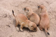 Young prairie dogs Royalty Free Stock Photos