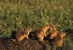 Young Prairie Dogs. A group of young prairie dogs outside their den Stock Photography