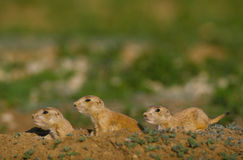 Young Prairie Dogs at Burrow. A group of three young prairie dogs outside their burrow Stock Images