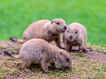 Young prairie dogs stock photo