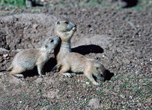 Young Prairie Dogs near their burrow. Royalty Free Stock Photography