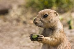 Young prairiedog Royalty Free Stock Photography