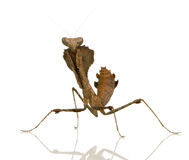 Young praying mantis - Deroplatys desiccata Royalty Free Stock Image