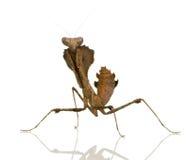 Young praying mantis - Deroplatys desiccata Royalty Free Stock Image