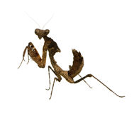 Young praying mantis - Deroplatys desiccata Royalty Free Stock Photo