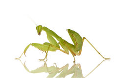 Young praying mantis - Sphodromantis lineola Royalty Free Stock Photos