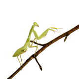 Young praying mantis - Sphodromantis lineola Stock Photos