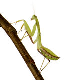 Young praying mantis - Sphodromantis lineola Stock Photo