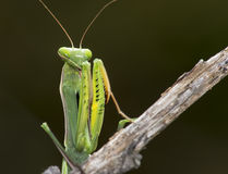 Young praying mantis Royalty Free Stock Images
