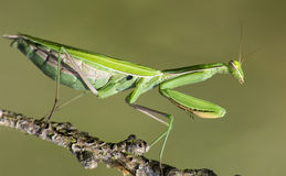 Young praying mantis Stock Image