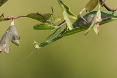 Young praying mantis Stock Photography