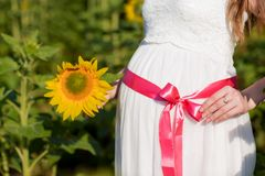 A young pregnant girl in a white dress with a pink ribbon on her stomach, in the middle of a sunflower field. Pregnant woman holdi stock photo