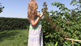 Young pregnant woman eat blackberries from branch in garden stock video