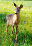 Young pretty deer in reservation Royalty Free Stock Photos