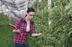 Woman in apple orchard in spring. Young pretty farmer woman observing apple trees in modern orchard in spring Royalty Free Stock Images