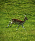 Young prickett Fallow deer in the spotted summer coats Stock Image