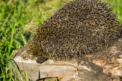 Young prickly hedgehog on log Royalty Free Stock Image