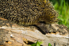 Young prickly hedgehog on log Royalty Free Stock Images
