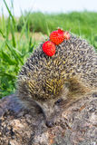 Young prickly hedgehog with strawberries on log Royalty Free Stock Images
