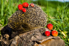 Young prickly hedgehog with strawberries on log Stock Photo