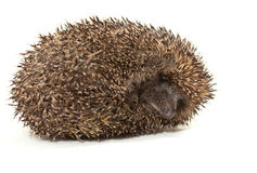 Young prickly hedgehog in studio Royalty Free Stock Photo