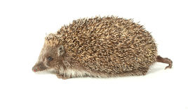 Young prickly hedgehog in studio Stock Photography