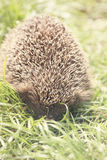 Young prickly hedgehog Stock Photography
