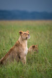 Young pride of Lions (Serengeti, Tanzania) Stock Photos