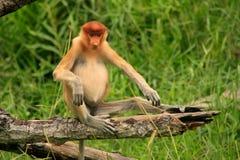 Young Proboscis monkey sitting on a tree, Borneo Royalty Free Stock Photography