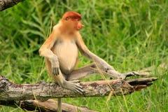 Young Proboscis monkey sitting on a tree, Borneo Stock Photo