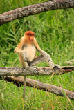 Young Proboscis monkey sitting on a tree, Borneo Royalty Free Stock Photography